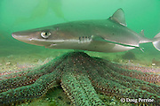 spiny dogfish, piked dogfish, spurdog, or dog shark, Squalus suckleyi (formerly Squalus acanthias ), swims over sunflower sea star, Pycnopodia helianthoides, Quadra Island off Vancouver Island, British Columbia, Canada, ( North Pacific Ocean )