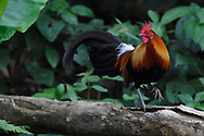 Red junglefowl, Gallus gallus, Tongbiguan Nature Reserve, Dehong, Yunnan, China