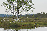 Silver birch and cottongrass at small pond in raised bog