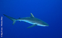 Silky Shark, Dawin Island, Galapagos Islands