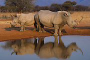 White rhinoceros (Ceratotherium simum) at waterhole<br /> Private Reserve, <br /> SOUTH AFRICA<br /> RANGE: Southern & East Africa<br /> ENDANGERED SPECIES