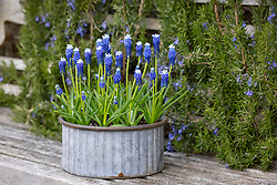 Muscari armeniacum 'Helena' - Grape hyacinth - in ribbed container