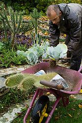 Lifting cacti and succulents for overwintering. Lifting Cotyledon orbiculata