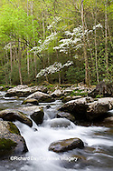 66745-04213 Dogwood trees in spring along Middle Prong Little River, Tremont Area, Great Smoky Mountains National Park, TN