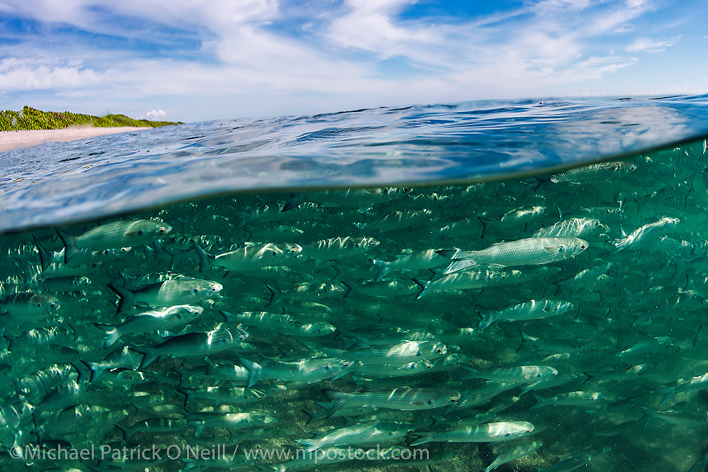 A school of Silver Mullet, Mugil curema, swims offshore Singer Island, Florida, United States, during the annual mullet migration that occurs every fall.