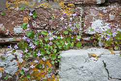 Ivy leaved Toadflax growing in an old brick wall. Kenilworth ivy. Cymbalaria muralis