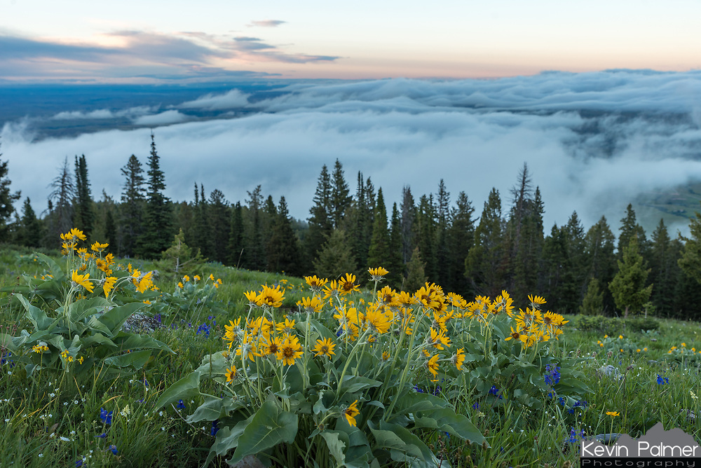 I found these wildflowers near the top of a mountain above Red Grade Road. The sunset wasn't very colorful, but it was still interesting watching the fog below. This is looking north towards Sheridan.
