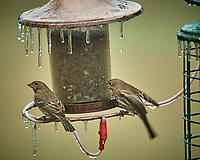 Icicles on the Bird Feeder with a pair of female House Finches. Image taken with a Nikon D5 camera and 600 mm f/4 VRII lens (ISO 1600, 600 mm, f/4, 1/100 sec).