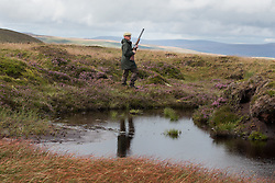 © Licensed to London News Pictures. 13/08/2016. Swinithwaite, UK. A man walks with shotgun in hand during a grouse shoot high on the Yorkshire moors in Swinithwaite, North Yorkshire. Yesterday was the glorious 12, the day that traditionally marks the start of the grouse shooting season. Photo credit : Ian Hinchliffe/LNP
