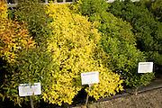 Spirea japonica plant varieties on sale in plant nursery