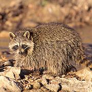 Raccoon, (Procyon lotor) Scavenging along edge of river in Southwest Utah.  Captive Animal.