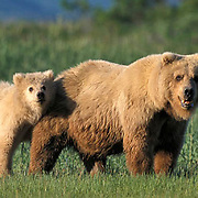 Alaskan Brown Bear, (Ursus middendorffi) Mother with cub standing in grass. Katmai National Park. Alaska. June. Late Spring.