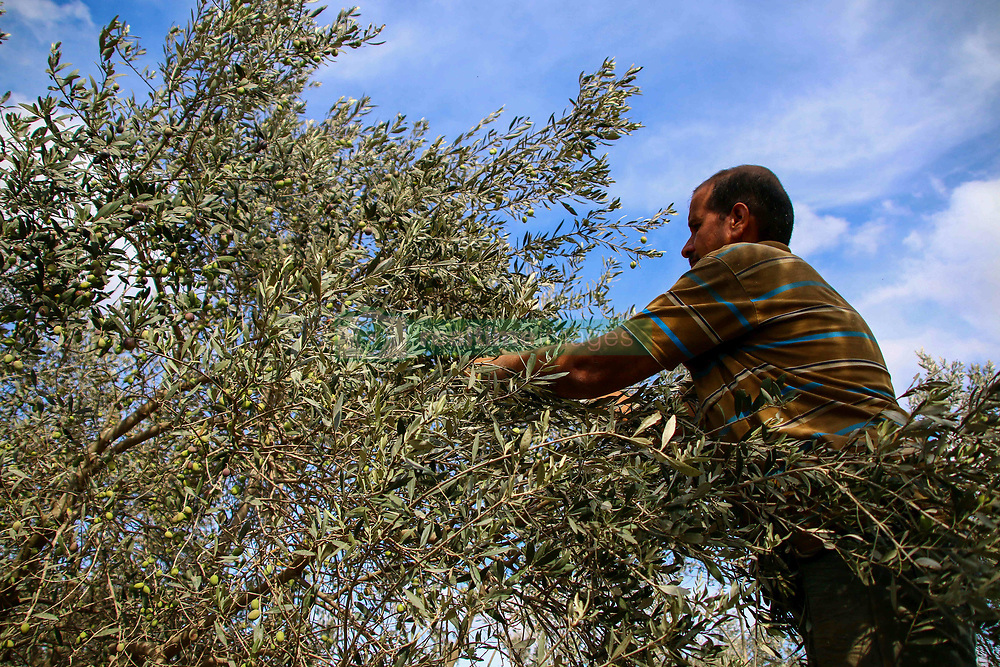October 9, 2018 - Abu Hossam Al-'Adini, 70, harvest olives with his sons in his olive field on the east of Deir al-Balah, in the central Gaza Strip, where he has been farming over the last 60 years. The olive harvest is a very important time in the Palestinian calendar, with olives being the mainstay of the Palestinian economy: yet olive growers in the Gaza Strip have been facing great challenges linked to the constant Israeli hostilities and an 11-year-long blockade on Gaza. Since the breakout of the Al-Aqsa Intifada in 2000, and throughout the 2006, the 2008-9, and the 2014 major Israeli military offenses, Israeli authorities have destroyed thousands of acres of olive groves, while those fields situated near the border with Israel are inaccessible to farmers also during small-scale Israeli military actions. The shortage of power supply in Gaza means that generators need to be used to power the olive oil extractors which survived the latest Gaza wars with Israel, but the fuel to make them function is very expensive. Moreover, with a crippling economy and huge unemployment not many Gazans can afford to purchase great amounts of olives and olive oil, while exports are often subject to Israeli restrictions (Credit Image: © Ahmad Hasaballah/IMAGESLIVE via ZUMA Wire)