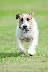 One small black, wite and tan Jack Russell small Terrier running in Park  9 Aug 2010 .Images © Paul David Drabble..