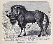The black wildebeest (Connochaetes gnou) or white-tailed gnu [here as White-Tailed Wildebeest] From the book ' Royal Natural History ' Volume 2 Edited by Richard Lydekker, Published in London by Frederick Warne & Co in 1893-1894