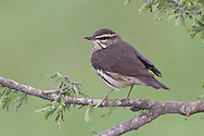 Northern Waterthrush - Seiurus noveboracensis