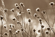 With the beautiful backlight, these winter dried seed pods became beautiful glowing flowers.