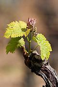 bud burst on the vine ch moulin du cadet saint emilion bordeaux france