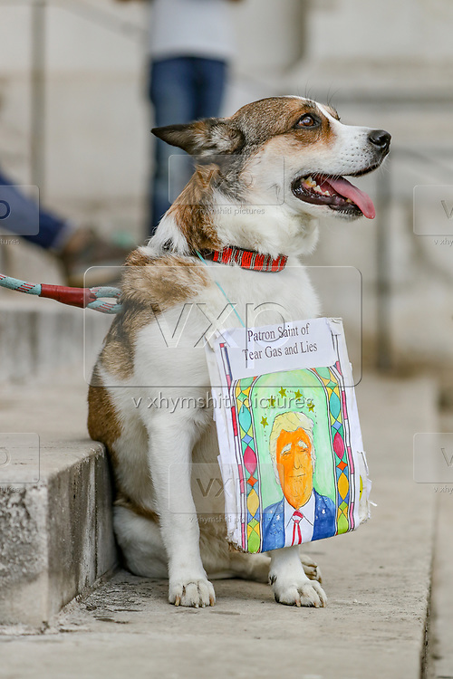 A placard is placed on a dog during a protest by members of the Black Lives Matter movement at Trafalgar Square in central London, Saturday, June 13, 2020. British police have imposed strict restrictions on groups protesting in London Saturday in a bid to avoid violent clashes between protesters from the Black Lives Matter movement, as well as far-right groups that gathered to counter-protest. Worldwide protests continue to take place prompted by the death last month of George Floyd by police officers in Minneapolis, USA that has led to protests in many countries and across the US calling for an end to racial injustice. (Photo/ Vudi Xhymshiti)