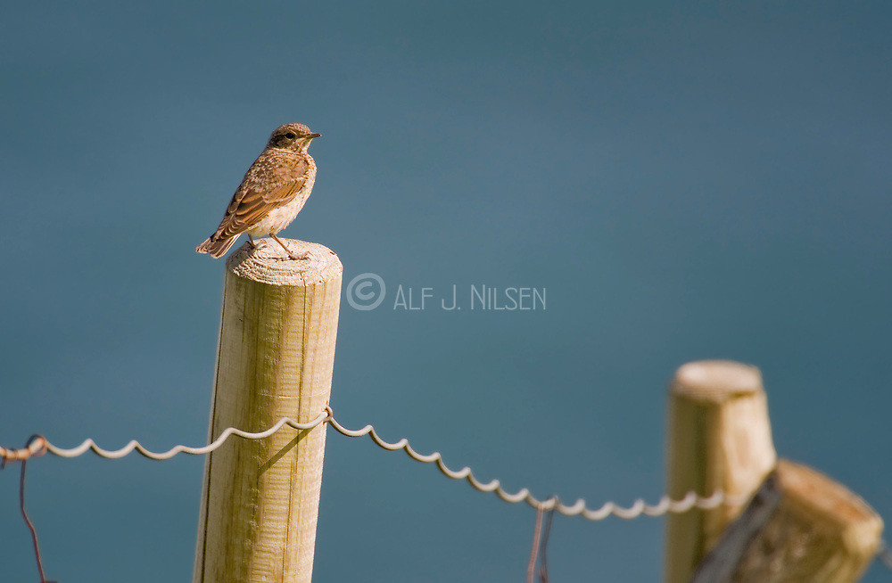 Rock Pipit (Anthus petrosus) from Runde, western Norway.