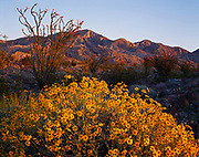 Brittlebush, Encelia farinosa, and Ocotillos, Fouquieria splendens, Santa Rosa Mountains beyond, Anza-Borrego Desert State Park, California.