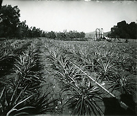 1880 JP Rapp's pineapple plantation at Gower and Franklin Ave.