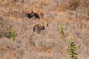 Alaskan moose forage on a slope during autumn in Denali National Park, McKinley Park, Alaska.