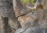 African Leopard, Panthera pardus, stretches after a nap on a rock ledge in Serengeti National Park, Tanzania