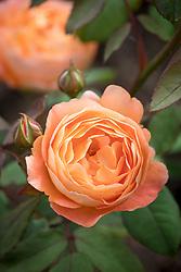 Rosa Lady Emma Hamilton syn. 'Ausbrother' AGM