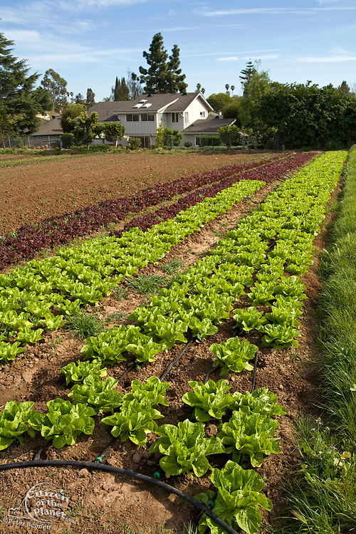 Lettuce crops. The Center for Urban Agriculture at Fairview Gardens is one of the oldest organic farms in California. Located on 12 acres, the 100-year-old farm provides the community with organic fruits and vegetables.Goleta, California