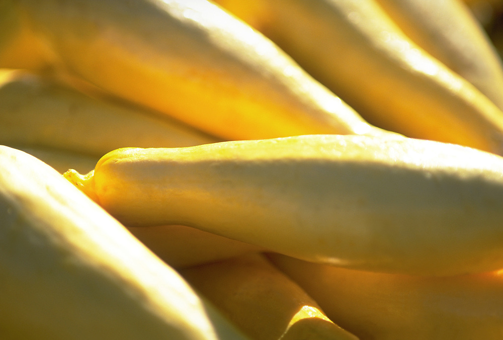 Close up selective focus photograph of some Yellow Summer Squash in the sunlight