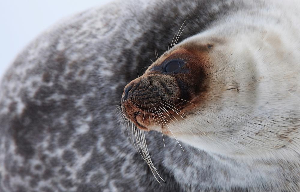 Ringed Seal, Pusa hispida, Spitsbergen, Svalbard