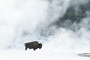 Bison during winter in Yellowstone National  Park