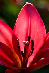 Lilium 'Nerone'. Asiatic lily
