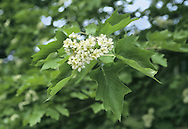Wild Service-tree Sorbus torminalis Rosaceae Height to 25m<br /> Spreading deciduous tree. Bark Fissured into squarish plates. Branches Straight; twigs shiny, buds green and rounded. Leaves To 10cm long, 3–5 pairs of pointed lobes; toothed margin. Reproductive parts Flowers white, to 1.5cm across, clustered. Fruits rounded, to 1.8cm across, rounded, brown. Status Scarce native of heavy soils; ancient woodland indicator.