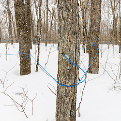 Tubing strung between sugar maple trees, Acer saccharum, in a maple syrup producing operation in Big Six Township, Maine.