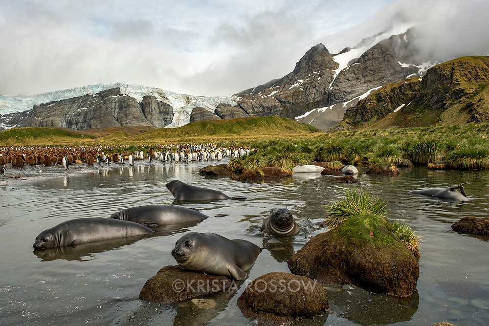 Southern elephant seal weaners play in the water at a massive breeding colony of king penguins at Gold Harbour on South Georgia Island.