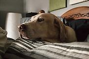 USA, Oregon, Keizer, Labrador Retriever nestled in the pillows
