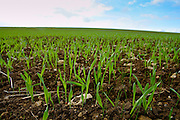 Winter wheat crop growing in a field, Oxfordshire, United Kingdom
