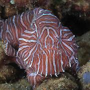 Marine Life   Ambon