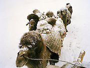 The Khan's herd of Bactrian camels is taken out by his son in law Momo to freely roam out of the Qyzyl Qorum camp during the day..Winter expedition through the Wakhan Corridor and into the Afghan Pamir mountains, to document the life of the Afghan Kyrgyz tribe. January/February 2008. Afghanistan