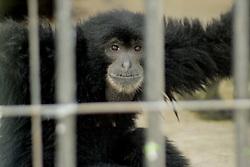 April 18, 2018 - Madiun, East Java, Indonesia - Siamang primates or Sumatran black monkeys [Symphalangus syndactylus] complement the mini zoo in Madiun. (Credit Image: © Ajun Ally/Pacific Press via ZUMA Wire)
