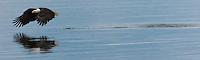Bald Eagle (Haliaeetus leucocephalus) (Halietus leucocephalus) strikes the water of Hood Canal and then flies on at Puget Sound Washington, USA panorama