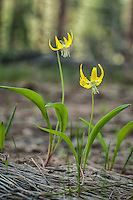 Glacier lilies are an important source of food for many animals in the American west. The leaves and bulb-like structures (corms) are rich in nutrients and are eaten by deer, bears, bighorn sheep, elk and several rodents such as ground squirrels. Native Americans have long used the leaves as a (or part of) salad and eat the corm either boiled or fresh. This was photographed<br />