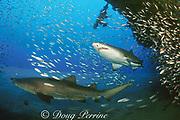 sand tiger shark, Carcharias taurus (formerly Odontaspis/ Eugomophodus ) wreck of the Papoose, N. Carolina, United States ( Atlantic Ocean )