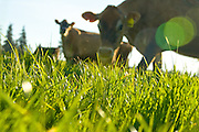 Double J Jersey Farm, Organic Valley, Monmouth, Oregon.