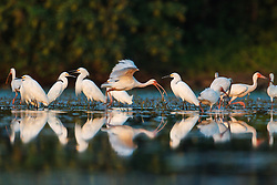 Wading birds (ibis and egrets) in Lemon Lake, Great Trinity Forest near Trinity River, Dallas, Texas, USA.