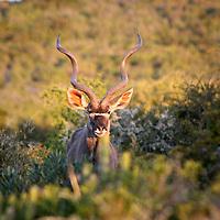 Africa, South Africa, Kwandwe. Greater Kudu.