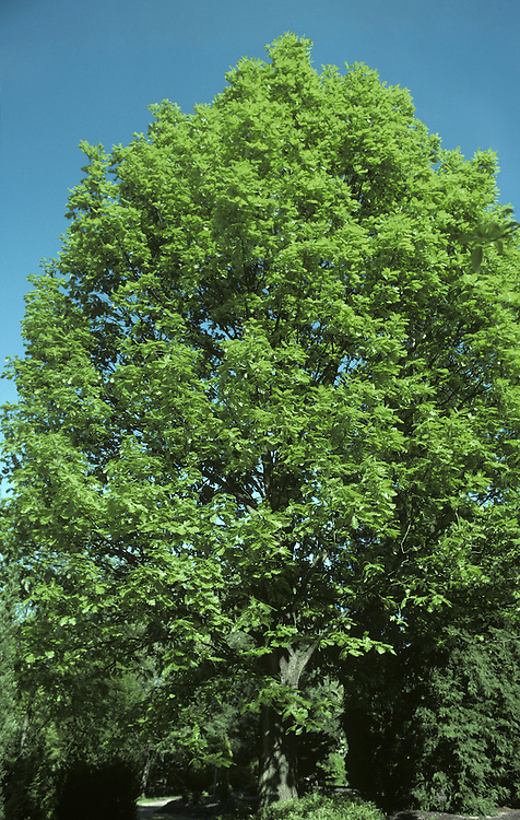 Hungarian Oak Quercus frainetto (Fagaceae) HEIGHT to 30m<br /> Deciduous, rapid-growing oak that forms a fine, broadly domed tree. BARK Pale grey and finely fissured, breaking into fine ridges. BRANCHES Largest are long and straight, emerging from a sturdy bole; terminate in finely downy greyish-green or<br /> brownish twigs. LEAVES Large, deeply lobed, to 25cm long and 14cm wide. REPRODUCTIVE PARTS Pendulous yellow catkins appear in May and early June; acorns are borne in cups about 1.2cm deep covered in downy, blunt, overlapping scales. STATUS AND DISTRIBUTION Native to Balkans, central Europe and S Italy. Planted here for its splendid appearance when mature.