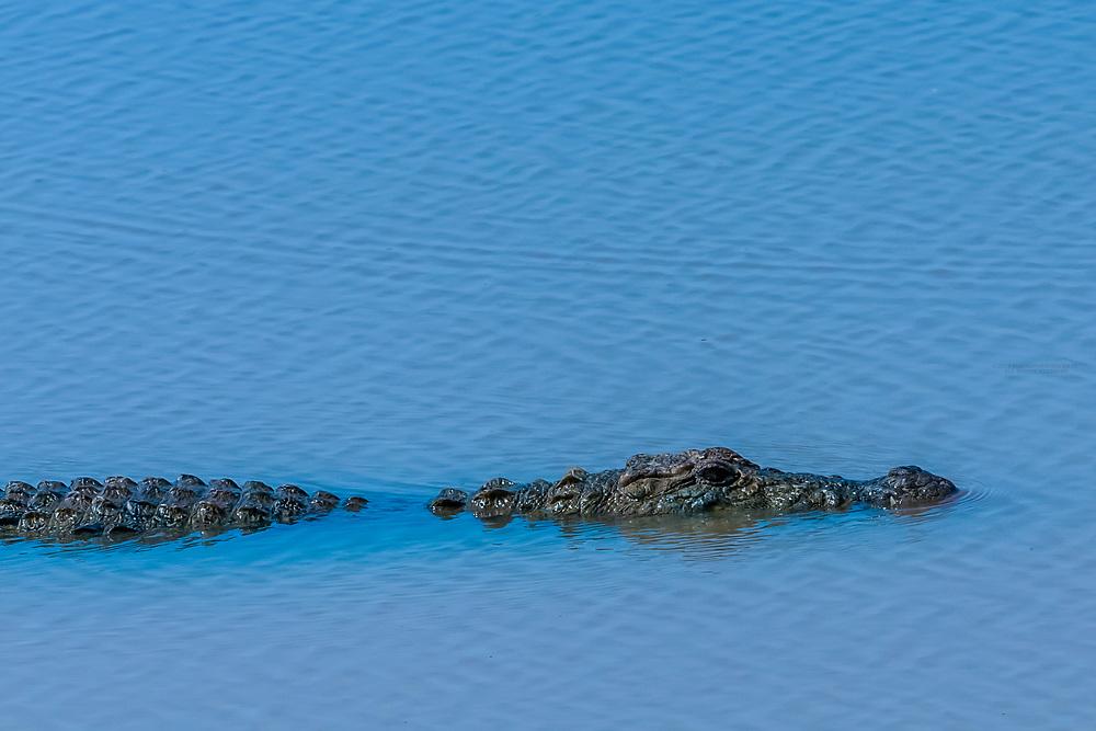 Alligator, Yala National Park, Southern Province, Sri Lanka.